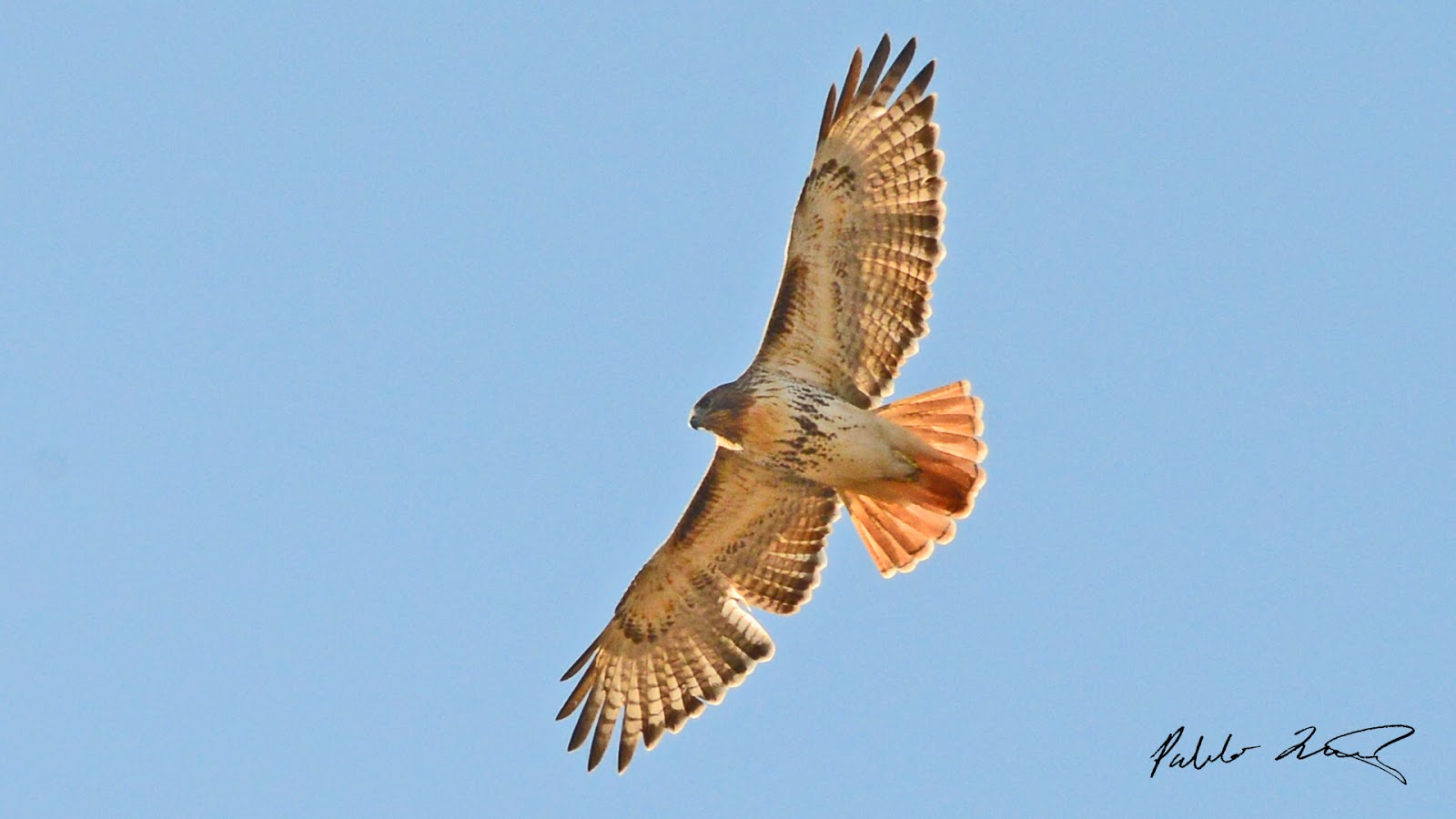 Red tail hawk saves man s life dr chet weld - Red tailed hawk wallpaper ...